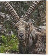Ibex Pictures 190 Wood Print