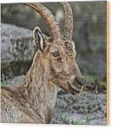 Ibex Pictures 38 Wood Print