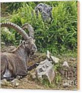 Ibex Pictures 64 Wood Print