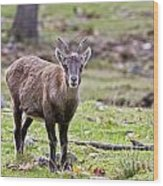 Ibex Pictures 71 Wood Print