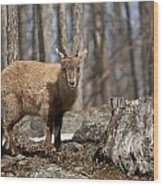 Ibex Pictures 92 Wood Print