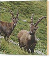 Ibexes Wood Print by Art Wolfe