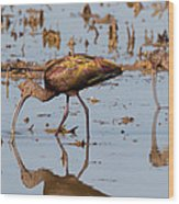 Ibis Feeding On Winter Wetlands Wood Print