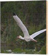 Ibis In Flight Wood Print