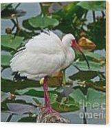 Ibis In Pond Wood Print