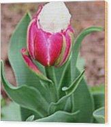 Ice Cream Parrot Tulip Wood Print