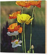 Iceland Poppies In The Sun Wood Print