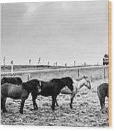 Icelandic Ponies Wood Print