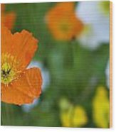 Icelandic Poppy        Papaver Nudicaule  Wood Print