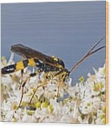 Ichneumon Wasp Feeding On Flowers Wood Print