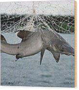 Illegal Gillnet Fishing Academy Bay Wood Print