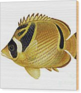 Illustration Of A Raccoon Butterflyfish Wood Print by Carlyn Iverson
