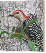 I'm So Handsome - Red Bellied Woodpecker Wood Print