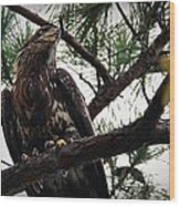 Immature American Bald Eagle Wood Print