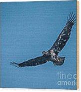 Immature Bald Eagle In Flight Wood Print
