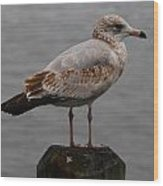 Immature Glaucous Gull Wood Print