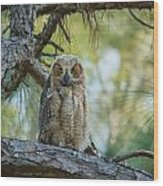 Immature Great Horned Owl Wood Print