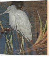 Immature Little Blue Heron Wood Print