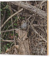Immature White-throated Sparrow Wood Print