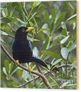 Immature Yucatan Jay Wood Print