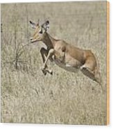 Impala Leaping Through Savanna Wood Print