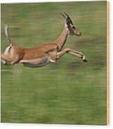 Impala  Running And Leaping Wood Print