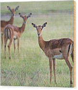 Impalas Aepyceros Melampus Petersi Wood Print