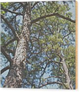In New Jersey's Pinelands Wood Print