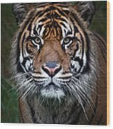 Tiger In Your Face Wood Print