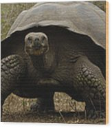 Indefatigable Island Tortoise Galapagos Wood Print