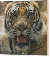 India Male Bengal Tiger (pantera Tigris Wood Print