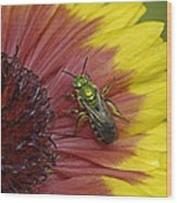 Indian Blanket And Bee Wood Print