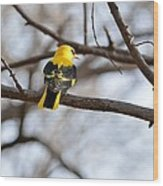 Indian Golden Oriole Wood Print