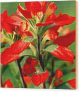 Indian Paintbrush I I Wood Print