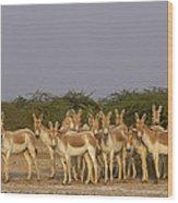 Indian Wild Ass Herd Gujarat India Wood Print