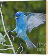 Indigo Bunting Alighting Wood Print
