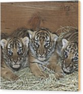Indochinese Tiger Cubs In Sleeping Box Wood Print