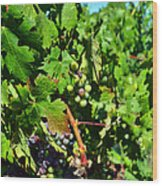 Inglenook Vineyard -10 Wood Print
