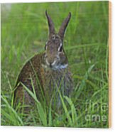 Inquisitive Rabbit Watching You Wood Print