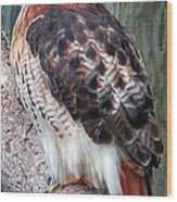 Inquisitve Red Tailed Male Hawk Wood Print