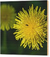 Insects On A Dandelion Flower - Featured 3 Wood Print