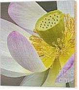 Intimate Sacred Lotus Bloom Wood Print