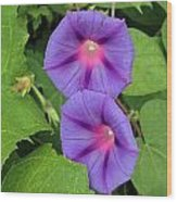Ipomea Acuminata Morning Glory Wood Print