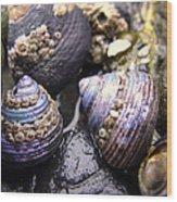 Iridescent Purple Seashells Wood Print