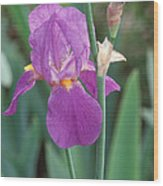 Iris 6 Wood Print