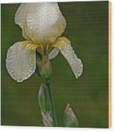 Iris After The Rain Wood Print by Mamie Thornbrue