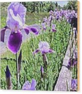 Iris Along Fence - Country - Flower Wood Print
