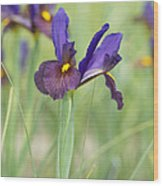Iris Hollandica 'eye Of The Tiger' Wood Print by Tim Gainey
