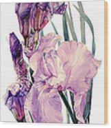 Watercolor Of An Elegant Tall Bearded Iris In Pink And Purple I Call Iris Joan Sutherland Wood Print