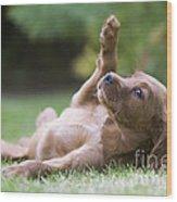 Irish Setter Puppy Wood Print